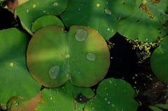 Листья лотоса, красивые цветки воды Стоковое Изображение RF
