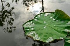 Листья лотоса с падениями воды Стоковые Изображения