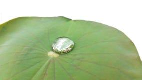 Листья лотоса с росой на белой предпосылке Стоковое Фото