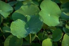Листья лотоса Стоковое Фото