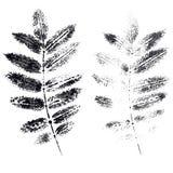 Листья отпечатка золы горы Стоковое фото RF