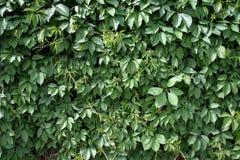 Листья одичалой виноградины Стоковые Изображения