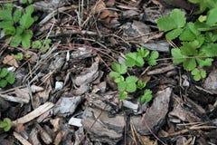 Листья одичалой клубники на расшиве стоковые фотографии rf