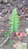 Листья павлина стоковые фотографии rf