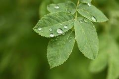 листья падений росы зеленые Стоковые Изображения RF