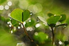 листья падений росы клевера Стоковая Фотография RF