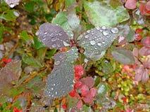 листья падений росы Стоковая Фотография RF