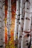 листья падения березы Стоковое Изображение RF