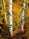 листья падения березы Стоковая Фотография RF