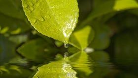 Листья падения воды Стоковое фото RF