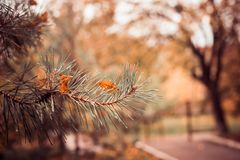 Листья падения на ветви ели Стоковые Фото