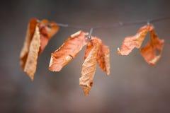 Листья падения на ветви Стоковая Фотография RF