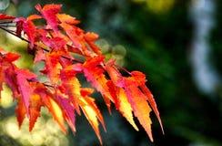 Листья падения поворачивают красный цвет и зеленый цвет Стоковое фото RF