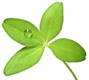 листья падения росы 4 клевера Стоковые Фотографии RF