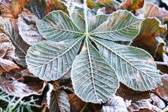 Листья падения hippocastanum каштанов конских или Aesculus Стоковые Фото