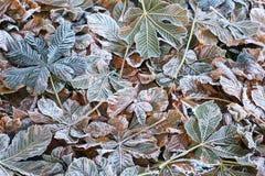 Листья падения hippocastanum каштанов конских или Aesculus Стоковые Фотографии RF