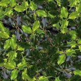 листья падуба Стоковая Фотография