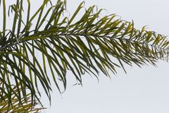 Листья пальмы закрывают вверх с серой предпосылкой неба Стоковые Фотографии RF