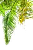 Листья пальмы на белизне стоковое изображение rf