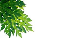 Листья папапайи Стоковая Фотография