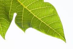 Листья папапайи Стоковое Изображение RF