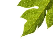 Листья папапайи Стоковое Фото