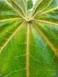 Листья папапайи стоковое фото rf
