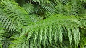 Листья папоротника дерева Стоковые Изображения RF