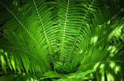 Листья папоротника, конец-вверх Стоковое Фото