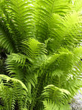 листья папоротника накаляя Стоковые Фотографии RF