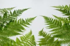 Листья папоротника на белой предпосылке Стоковое Изображение RF