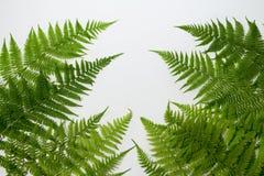 Листья папоротника на белой предпосылке Стоковые Изображения RF