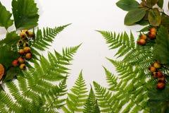 Листья папоротника на белой предпосылке Стоковая Фотография