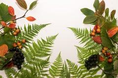 Листья папоротника на белой предпосылке Стоковая Фотография RF