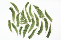Листья папоротника на белой предпосылке стоковое изображение