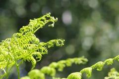 Листья папоротника папоротник-орляка или тормоза или орла Стоковая Фотография RF
