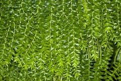 листья папоротника предпосылки Стоковое Изображение RF