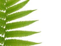листья папоротника свежие Стоковое фото RF