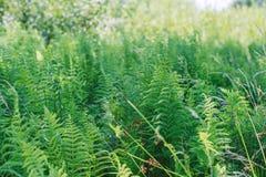 Листья папоротника хлорофилл Здоровая флора растя в лесе на земле планеты стоковая фотография