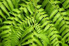 листья папоротника Стоковое Изображение RF