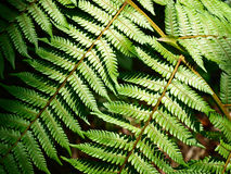 Листья папоротника Стоковые Фотографии RF