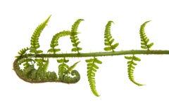 Листья папоротника Стоковое Фото