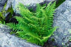 Листья папоротников Polypodiophyta стоковая фотография rf