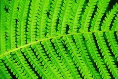 Листья папоротник-орляка папоротника Стоковая Фотография RF