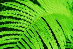 Листья папоротник-орляка папоротника Стоковая Фотография