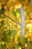 листья падения березы Стоковые Изображения RF