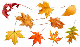 Листья падения изолированные на белом собрании предпосылки стоковая фотография rf