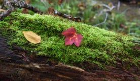 Листья падения на мхе Стоковое Фото