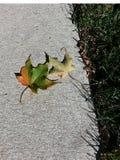 Листья падения на тротуаре Стоковое Фото