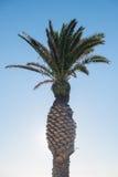 Листья пальмы пуская ростии вне на хоботе Стоковые Фото